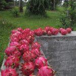 Pitaya – Dragon Fruit – Pitahaya - Drachenfrucht
