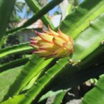 Pitaya Dragon Fruit starts blooming