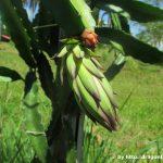 Pitaya Dragon Fruit Flower